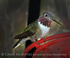 Calliope Hummingbird male (5)