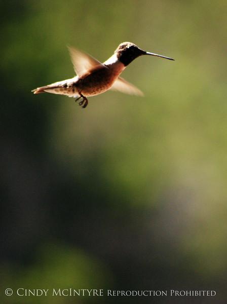 Black-chinned Hummingbird Male (4)