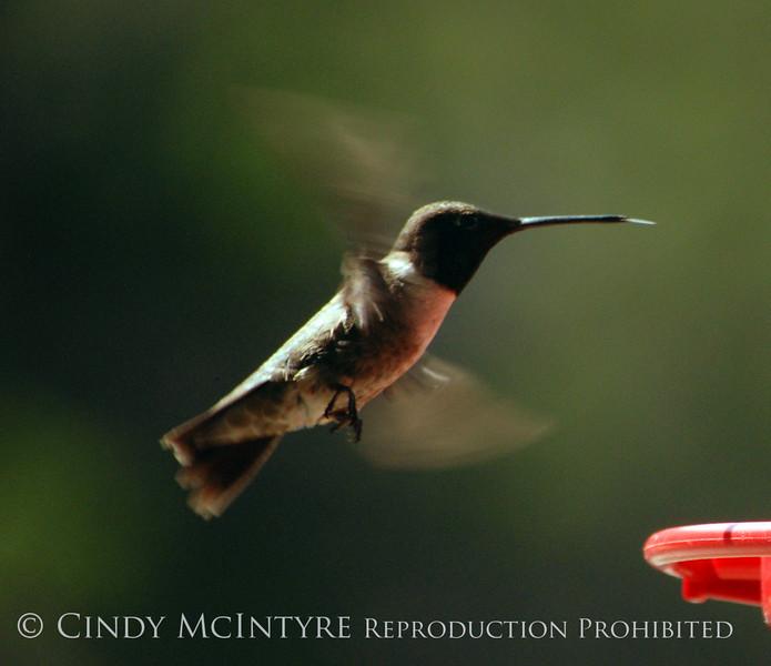 Black-chinned Hummingbird Male (2)