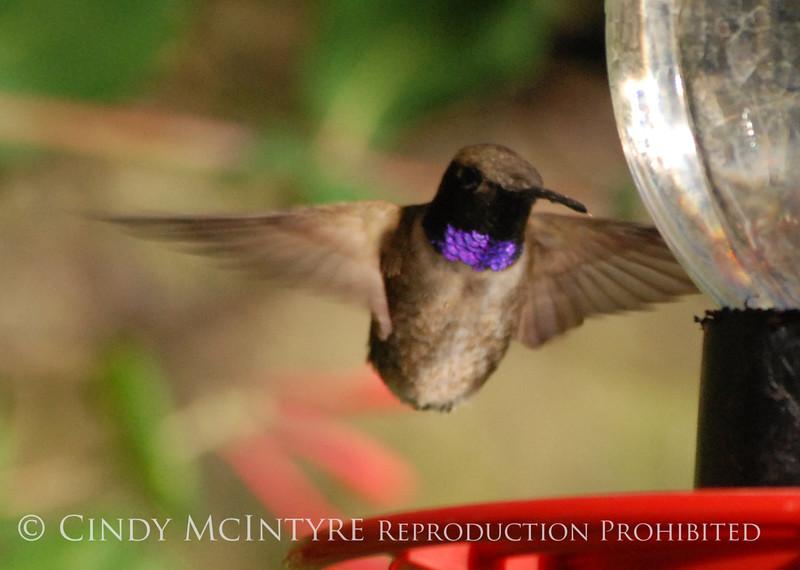 Black-chinned Hummingbird male (17)
