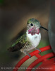 Calliope Hummingbird male (2)