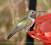 Calliope Hummingbird male (3)