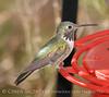 Calliope Hummingbird male (3)