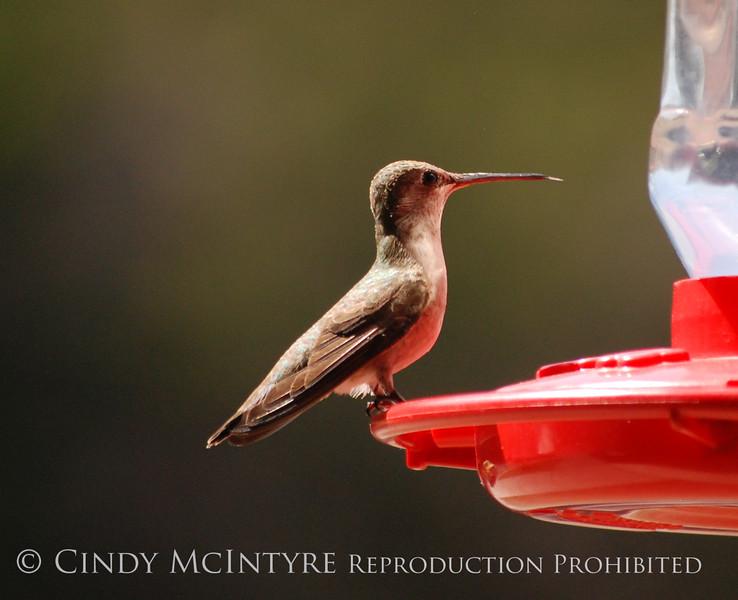 Black-chinned Hummingbird female (7)