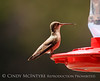 Black-chinned Hummingbird female (7)