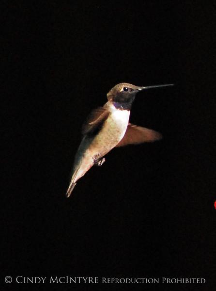 Black-chinned Hummingbird Male (8)