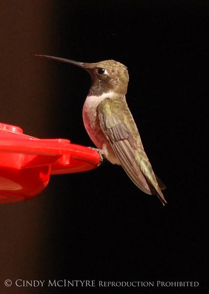 Black-chinned Hummingbird Male (13)