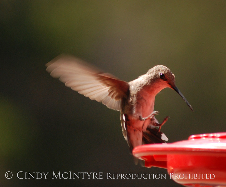Black-chinned Hummingbird female (4)