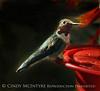 Broad-tailed hummingbird male (1)
