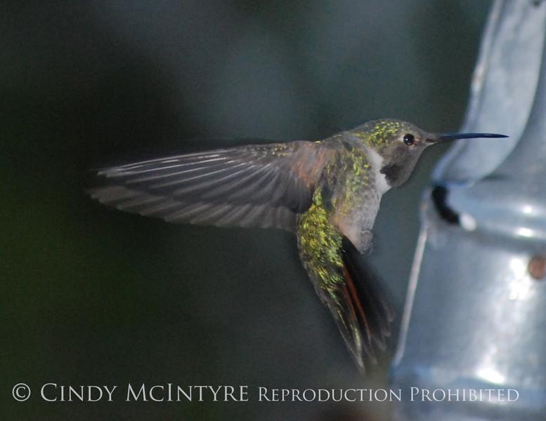 Black-chinned Hummingbird male (18)