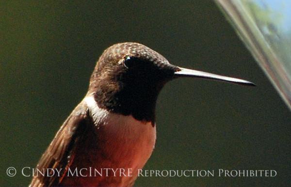 Black-chinned Hummingbird Male (6)