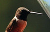 Black-chinned Hummingbird Male (6)