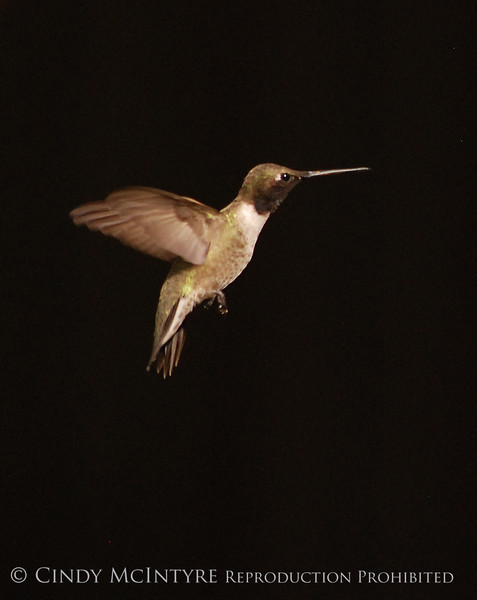 Black-chinned Hummingbird Male (14)