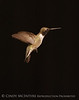 Black-chinned Hummingbird Male (14)