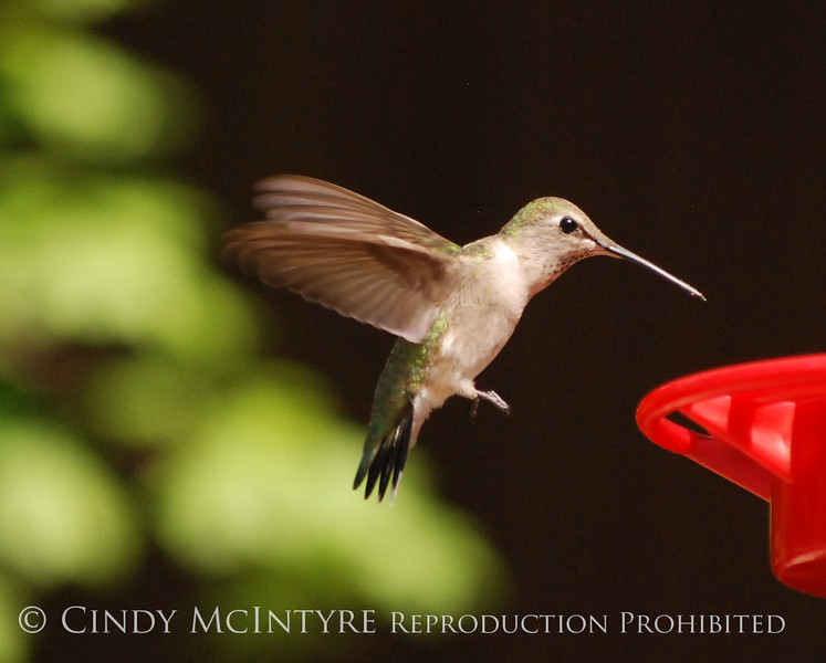 Black-chinned Hummingbird female (8)