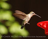Black-chinned Hummingbird female (8)