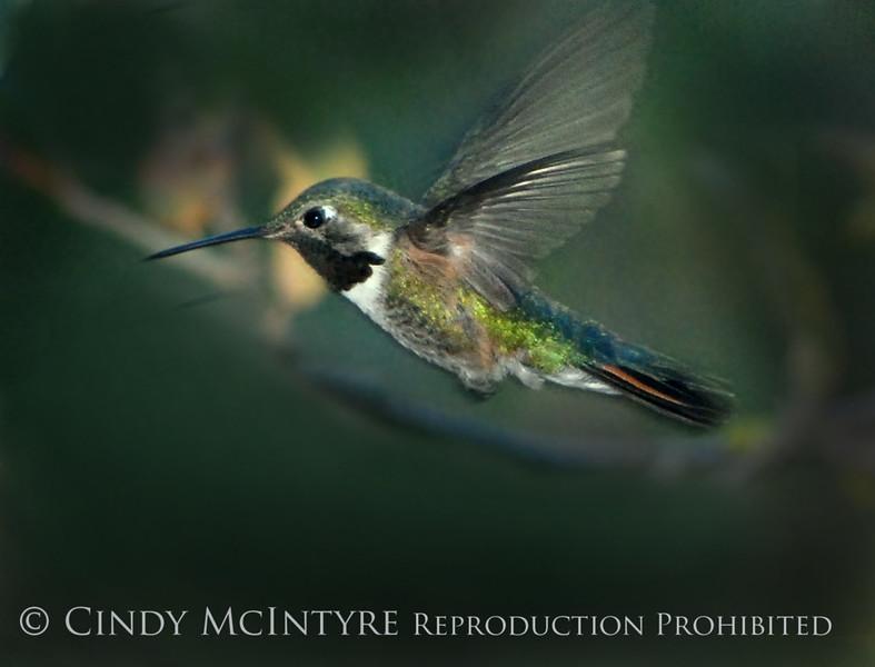Black-chinned Hummingbird male (5)