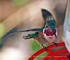 Calliope Hummingbird male (1)