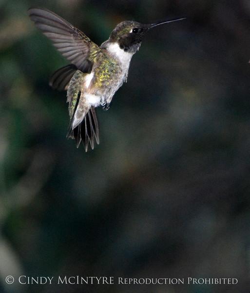 Black-chinned Hummingbird male (16)