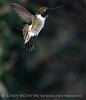 Black-chinned Hummingbird male (16)