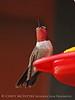 Broad-tailed hummingbird male NM (5)