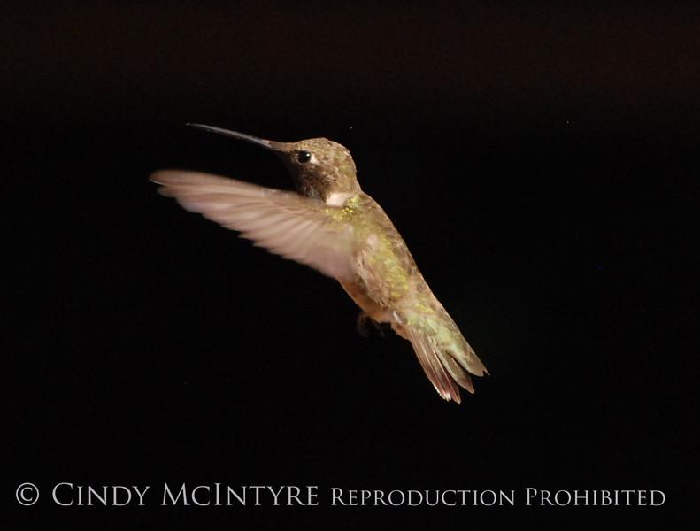 Black-chinned Hummingbird Male (12)