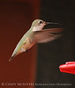 Broad-tailed Hummingbird maybe immature male, NM (7)