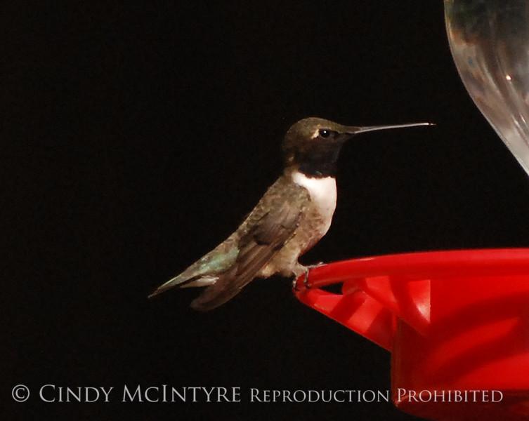 Black-chinned Hummingbird Male (9)