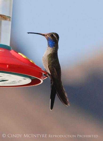 blue-throated hummingbird, male