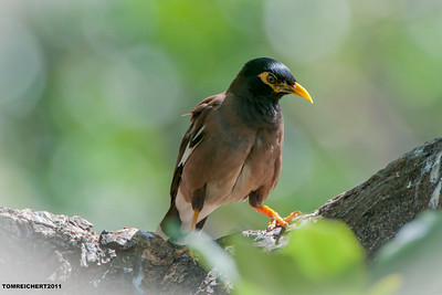 COMMON MYNA - HAWAII