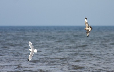 Anywhere you find gulls on Lake Superior in fall, you may find a rare visitor—the Parasitic Jaeger. Jaegers chase gulls until they vomit up their last meal and then eat it themselves [September 20; Lake Superior, Wisconsin Point, Douglas County, Wisconsin]