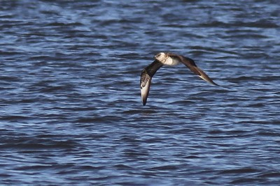 Parasitic Jaeger is regularly seen on Lake Superior in fall. They breed on the arctic tundra from Alaska and Canada to northern U.K., Iceland, Scandinavia and Russia. This is a sub adult. [October 7; off Wisconsin Point on Lake Superior, Douglas County, Wisconsin]