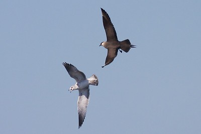 Parasitic Jaeger on the hunt, chasing Ring-billed Gulls over Lake Superior [September 24; Wisconsin Point, Superior, Wisconsin]