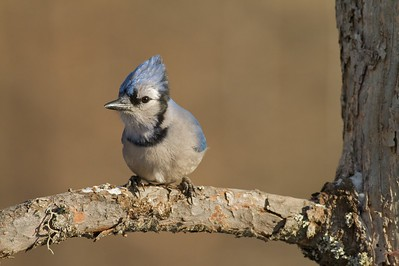 Blue Jay coming to deer carcass [December; Sax-Zim Bog, Minnesota]
