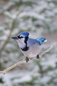 "Blue Jays are not ""mean""...They are a beautiful bird that we all need to appreciate more [January; Skogstjarna Carlton County, Minnesota]"