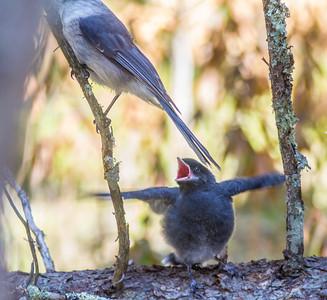 Gray Jay fledgling Warren Nelson Memorial Bog Blue Spruce Road Sax-Zim Bog MNIMG_1414