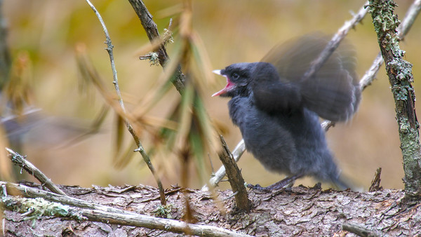 Gray Jay fledgling Warren Nelson Memorial Bog Blue Spruce Road Sax-Zim Bog MNP1022415