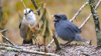 Gray Jay fledgling Warren Nelson Memorial Bog Blue Spruce Road Sax-Zim Bog MNP1022417