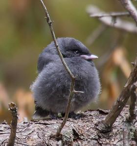 Gray Jay fledgling Warren Nelson Memorial Bog Blue Spruce Road Sax-Zim Bog MNP1022442
