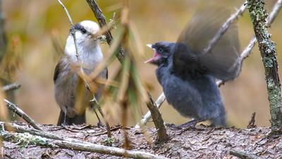 Gray Jay fledgling Warren Nelson Memorial Bog Blue Spruce Road Sax-Zim Bog MNP1022421