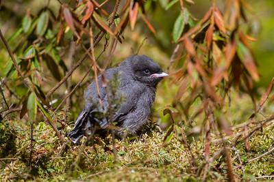 Gray Jay fledgling Warren Nelson Memorial Bog Blue Spruce Road Sax-Zim Bog MN-1442