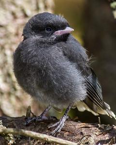 Gray Jay fledgling Warren Nelson Memorial Bog Blue Spruce Road Sax-Zim Bog MN-1433