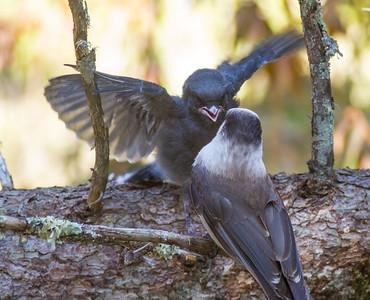 Gray Jay fledgling Warren Nelson Memorial Bog Blue Spruce Road Sax-Zim Bog MNIMG_1413