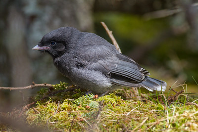 Gray Jay fledgling Warren Nelson Memorial Bog Blue Spruce Road Sax-Zim Bog MN-1437