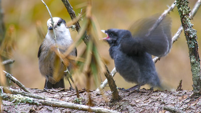 Gray Jay fledgling Warren Nelson Memorial Bog Blue Spruce Road Sax-Zim Bog MNP1022418
