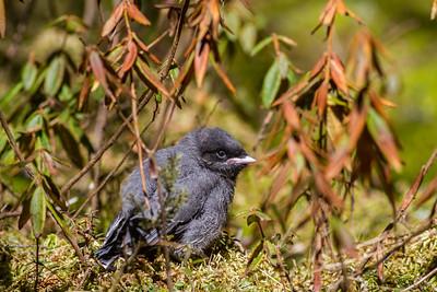 Gray Jay fledgling Warren Nelson Memorial Bog Blue Spruce Road Sax-Zim Bog MN-1440