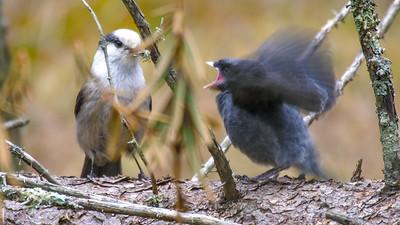 Gray Jay fledgling Warren Nelson Memorial Bog Blue Spruce Road Sax-Zim Bog MNP1022419