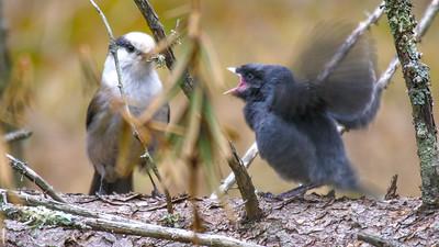 Gray Jay fledgling Warren Nelson Memorial Bog Blue Spruce Road Sax-Zim Bog MNP1022423