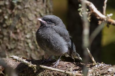 Gray Jay fledgling Warren Nelson Memorial Bog Blue Spruce Road Sax-Zim Bog MN-1434