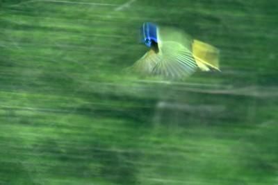 Green Jays can be very skittish and secretive [November; Santa Ana National Wildlife Refuge, Texas]
